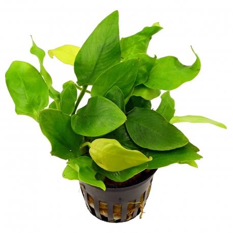 Anubias Barteri Species in pot