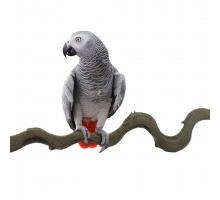 Back Zoo Nature Liaan Snakewood Large Vogel