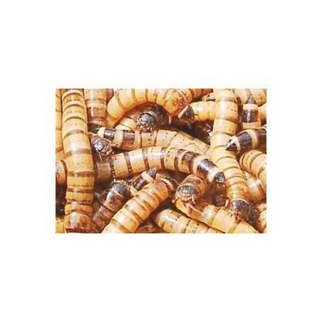 Moriowormen 50 gram voedseldieren