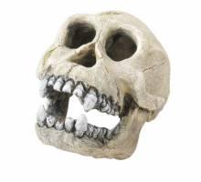 Skull Chimpanzee
