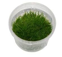 Eleocharis specie mini in cup