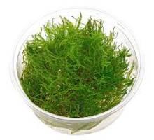 "Taxiphyllum alternans ""Taiwan mos"" in cup"