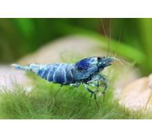 Garnaal - Taiwan Bee Blue Bolt