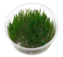 Spikey moss in cup