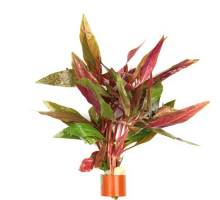 Bosje Alternanthera Rosaefolia