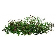 Lucky Reptile turtle plants Hydrocotyle