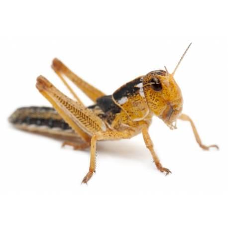 Sprinkhanen Groot / Volwassen voedseldieren