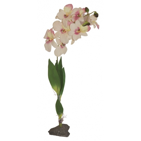 Lucky Reptile Orchid White