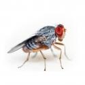 Fruitvliegjes Groot Drosophila Hydei