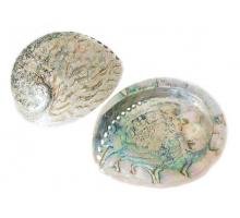 Abalone schelp 14-16cm.